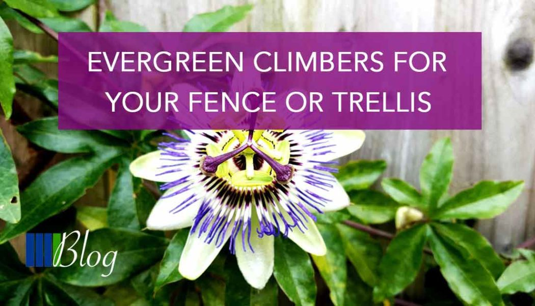 Evergreen Climbers For Your Fence or Trellis